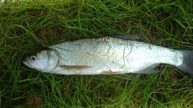 Bolen dravý patří k rybám, které mají v oblibě proudné vody, a vyskytuje se proto vlastně jen ve větších řekách nebo jezerech napojených na řeky. Bolen dravý  Vědecká klasifikace […]