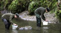Po druhé světové válce zmizeli lososi z našich řek nejen kvůli člověkem vybudovaným překážkám, ale i kvůli znečištění řek. Čistota se zlepšila, proto mohli rybáři v roce 1998 začít s […]