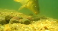 Krásné podvodní video s krmícími se kapry na lovném místě ukončené pěkným záběrem