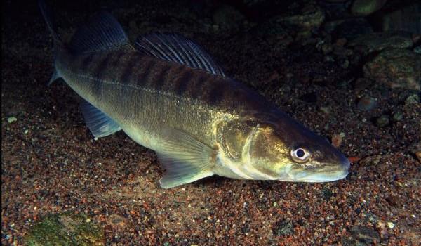 Candát obecný patří k nejcennějším a hospodářsky velmi významným druhům. Je oblíbenou konzumní a sportovní rybou, jejíž maso patří k nejkvalitnějším a nejchutnějším ze všech sladkovodních ryb. Candát obecný  […]