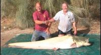 Trvalo to sedm let, ale čekání se vyplatilo, protože nakonec se britský rybář Bernie Campbell zapíše do knihy rekordů. Po sedmi letech snažení ulovil největšího sumce albína na světě. Měřil […]