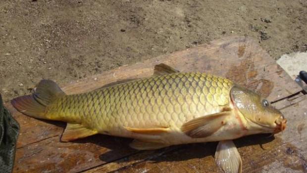 Pokud nám ryba, například cestou ze sádek, lekne, není to žádná tragédie. Takovou rybu běžným způsobem vykucháme, omyjeme, necháme zchladit a případně ji zkonzumujeme. Je velký nesmysl ji vyhazovat, maso […]