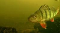Koukněte se na podvodní záběry okounů při lovu vertikální přívlačí na mikro nástrahy, jo a připlavala se podívat i štika. Video