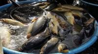 Výlovy na Táborsku už začaly. Štičí líheň Esox slovila rybník Naděje na Veselsku, sedmého října se rybáři přesunou na Rytíř v Hlavatcích, devátého pak na návesní rybník v Želči a […]